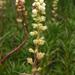 Richea continentis - Photo (c) mtncatt, todos los derechos reservados