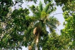 Roystonea regia image