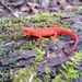 Eastern Newt - Photo (c) Billy Griswold, all rights reserved