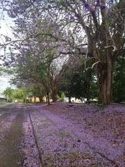 Jacaranda caucana image