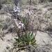 Thelypodium sagittatum sagittatum - Photo (c) Kirsten Whitt, כל הזכויות שמורות