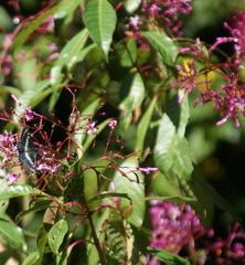 Fuchsia paniculata image