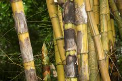 Bambusa vulgaris image