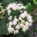 Shrubby Boneset - Photo (c) hanc_botanybattalion, all rights reserved