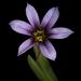 Sisyrinchium minus - Photo (c) Ted Lee Eubanks, todos los derechos reservados