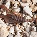 Escorpiones Dentados - Photo (c) Jason Penney, todos los derechos reservados