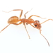 Pallidefulva-group Field Ants - Photo (c) Graham Montgomery, all rights reserved