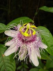 Passiflora oerstedii image