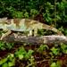 Poroto Single-horned Chameleon - Photo (c) Emmanuel Van Heygen, all rights reserved