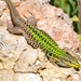Italian Wall Lizard - Photo (c) Davide La Rosa, all rights reserved