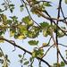 Eriolobus florentinus - Photo (c) romagnatrekking, todos los derechos reservados