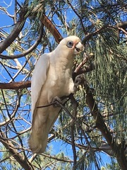 Little Corella - Photo (c) johnboy, all rights reserved