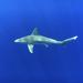 Tiburón Aleta de Cartón - Photo (c) jenny0027, todos los derechos reservados