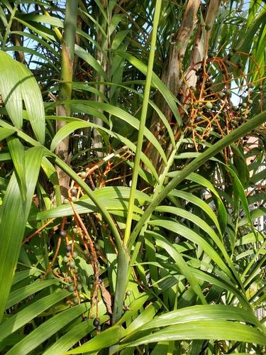 Chamaedorea costaricana image