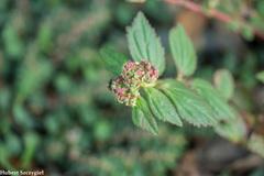Euphorbia hirta image