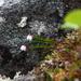 Harrimanella hypnoides - Photo (c) Nannie, כל הזכויות שמורות