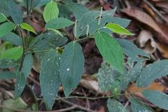 Image of Piper hispidum