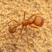 Harvester Ants - Photo (c) Clarence Holmes, all rights reserved