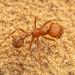 Hormigas Cosechadoras - Photo (c) Clarence Holmes, todos los derechos reservados