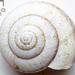 Bush Snail - Photo (c) Fero Bednar, all rights reserved