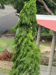Polyalthia longifolia image