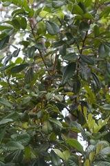 Cupania rufescens image