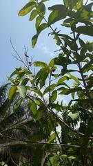 Syzygium samarangense image