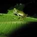 Nymphargus griffithsi - Photo (c) c_h_giraldo, todos los derechos reservados, uploaded by César Giraldo