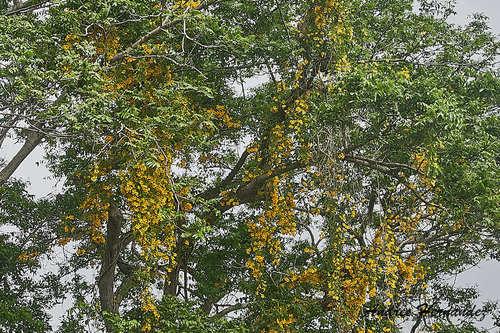 Dolichandra unguis-cati image