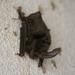Murciélagos Orejones - Photo (c) tonyg, todos los derechos reservados, uploaded by Tony Gerard