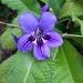 Streptocarpus - Photo (c) Liz van Niekerk, todos los derechos reservados