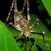 Spiny Rainforest Katydid - Photo (c) Jean Roger, all rights reserved