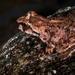 Rocky Mountain Tailed Frog - Photo (c) Charles (Chuck) Peterson, all rights reserved