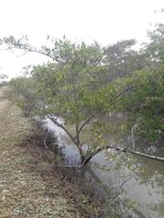 Laguncularia racemosa image