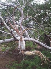Tillandsia flexuosa image