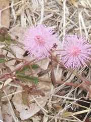 Mimosa pudica image