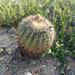 Ferocactus viridescens viridescens - Photo (c) Jim Roberts, all rights reserved