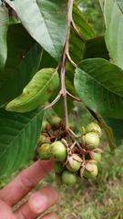 Vismia macrophylla image
