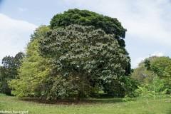 Miconia argentea image