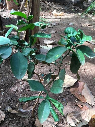 Citrus maxima image