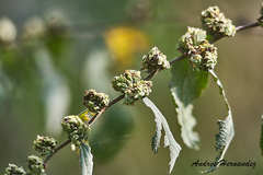 Waltheria glomerata image
