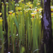 New World Pitcher Plants - Photo (c) Scott Zona, some rights reserved (CC BY-NC)