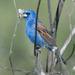 Blue Grosbeak - Photo (c) ramonamom, all rights reserved