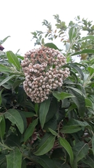 Pluchea carolinensis image
