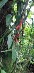 Aechmea pubescens image
