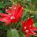 Passiflora coccinea - Photo (c) Christian Feuillet, todos los derechos reservados, uploaded by cpfeuillet