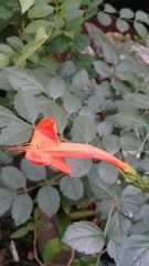 Tecoma capensis image