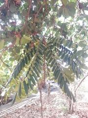 Simarouba amara image