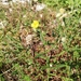 Helianthemum nummularium obscurum - Photo (c) F Zemmer, todos los derechos reservados