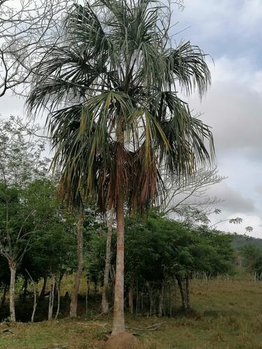 Sabal mauritiiformis image